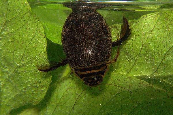 Rovarok a vízben – Csíkbogár (Acilius sulcatus)