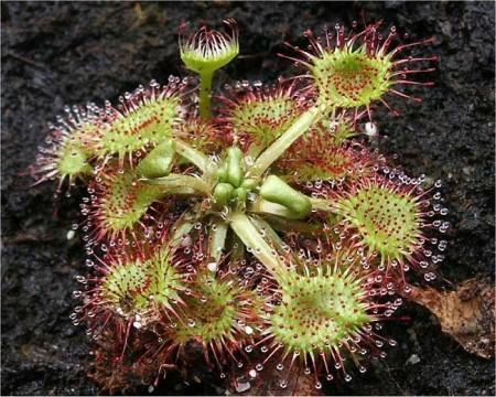 Drosera rotundifolia_3
