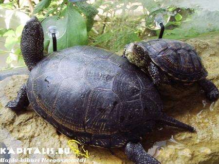 Magyarország egyetlen őshonos teknősféléje