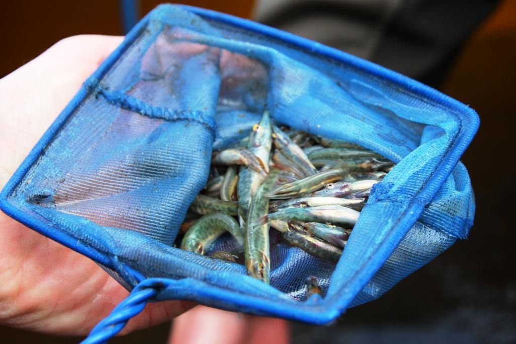 Ragadozóivadék telepítés a Tisza tóba