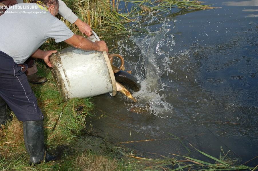 Nagyhal telepítés a Kajánsziki víztározóba