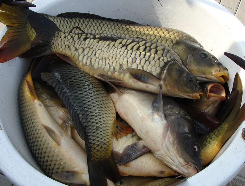 Ponty telepítés a Sáska horgásztóba