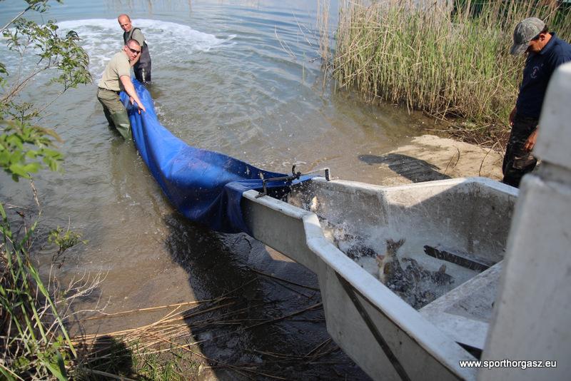 Ismét pontytelepítés a Tisza tóba