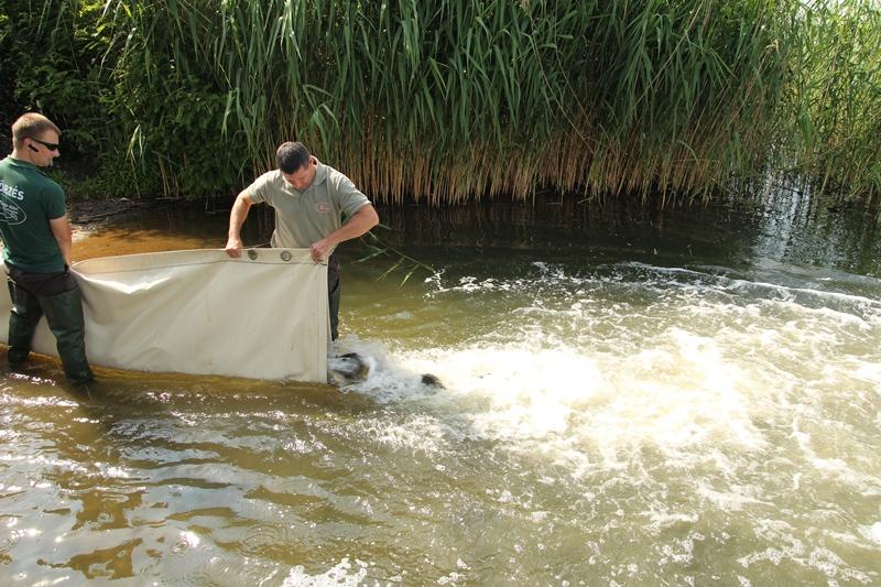 Újabb háromnyaras ponty telepítés a Tisza tóba