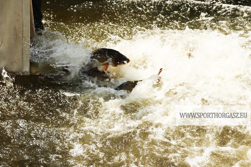 Ismét érkeznek a háromnyarasok a Tisza tóba