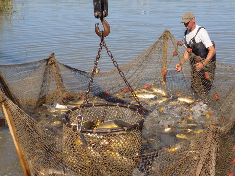 Közel 70 mázsa hal kerül a megyei csatornákba