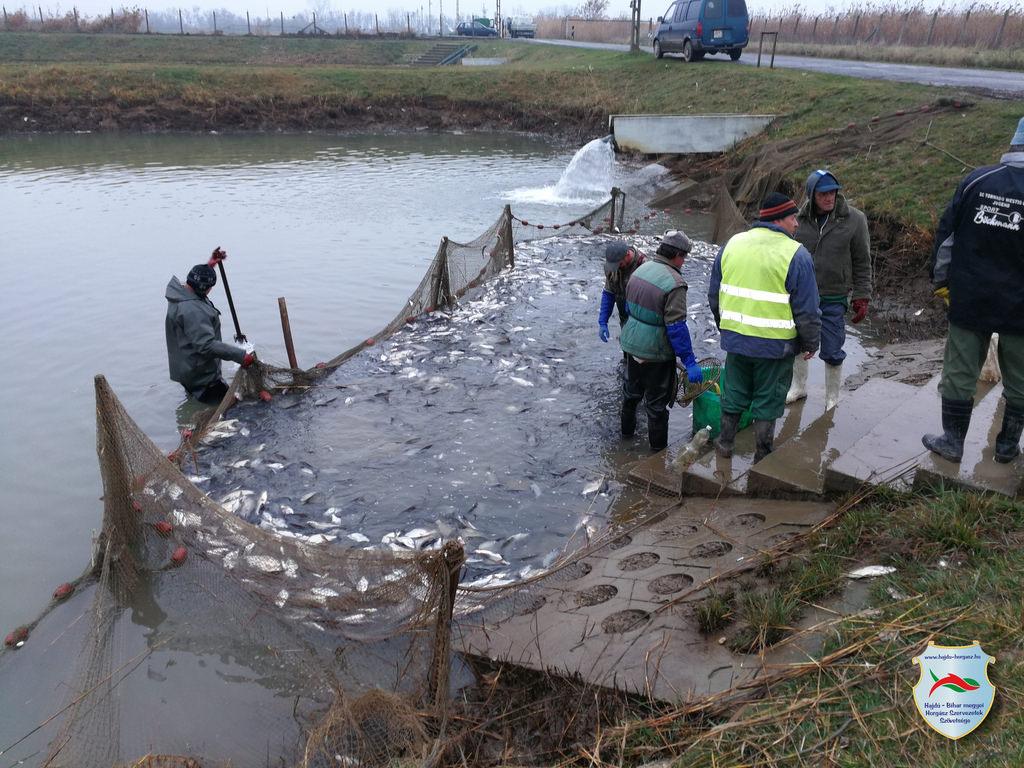 Dévérkeszeg telepítés a megyei horgászvizekbe
