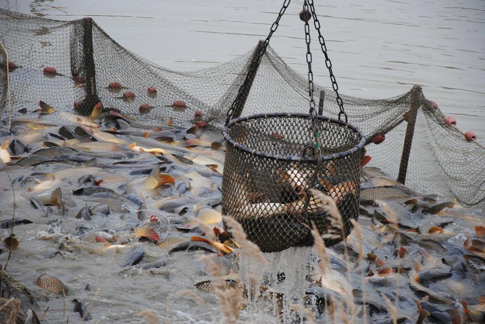 Nagyhal telepítés a Kadracsi tóba