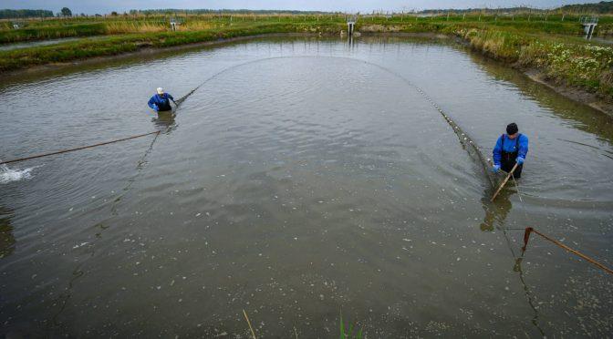 Több tonna halat telepítenek a horgászvizekbe